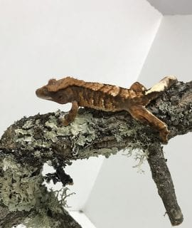 Male Tricolor Crested Gecko Subadult CB