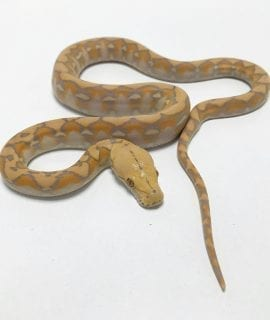 Female Coral Dwarf Reticulated Python CB19