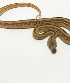 Female Super Tiger Citron het Mocha or White Albino Mainland Reticulated Python CB19