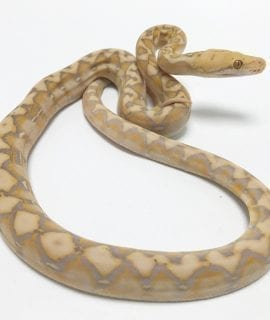 BRAND NEW!!! Male Coral Dwarf Reticulated Python CB19