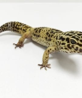 Male Classic Leopard Gecko CB16