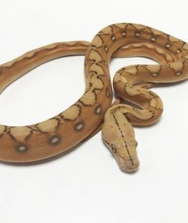 Male Mochino Sunfire Mainland Reticulated Python CB19