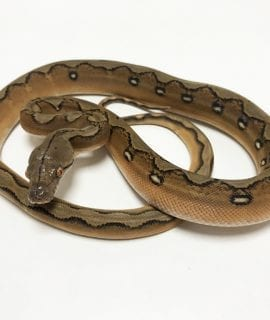 Male Super Sunfire poss Citron het Mocha or White Albino Mainland Reticulated Python CB19