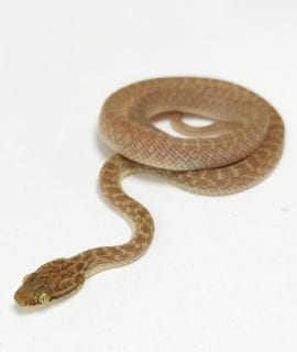 Arabian Cat Snake WC
