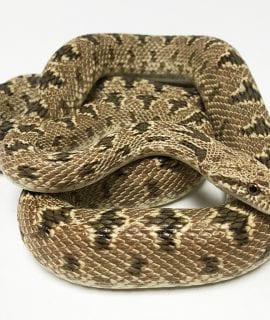 Clifford's Diadem Rat Snake Adult WC