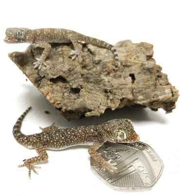 Short Fingered Gecko WC