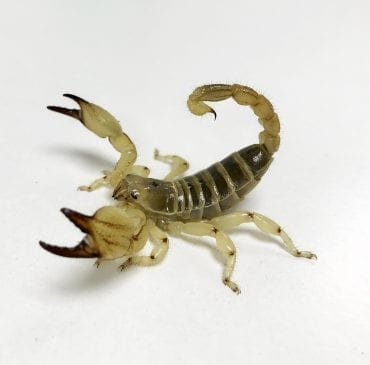 Large Clawed Scorpion