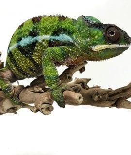 Male Nosy Valiha Panther Chameleon CB17