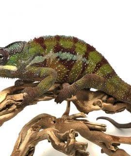 Male Nosy Valiha Panther Chameleon 2 CB17