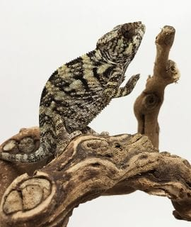Female Ambilobe Panther Chameleon CB18