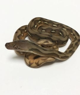 Female Suntiger Citron het Mocha or White Albino Mainland Reticulated Python