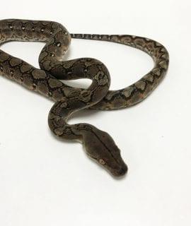 Female Classic het Mocha or White Albino Mainland Reticulated Python CB19