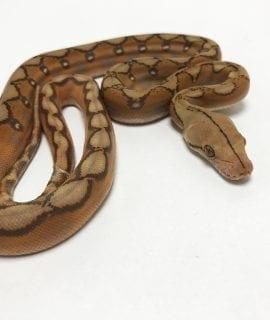 Male Mochino Sunfire Mainland Reticulated Python CB19