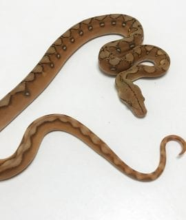 Male Mochino Super Sunfire poss Citron Mainland Reticulated Python CB19