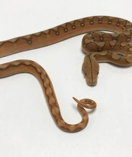Female Mochino Super Sunfire poss Citron Mainland Reticulated Python CB19