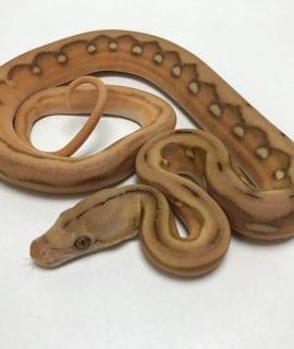 Male Mochino Suntiger Mainland Reticulated Python