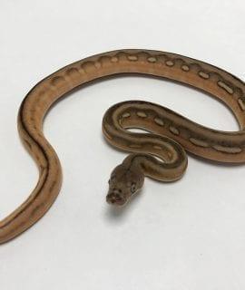 Female Super Tiger Citron het Mocha or White Albino Mainland Reticulated Python CB19