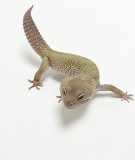 Male Mack Snow Murphy Patternless Leopard Gecko CB17