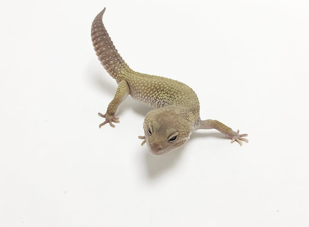 Male Mack Snow Murphy Patternless Leopard Gecko CB17