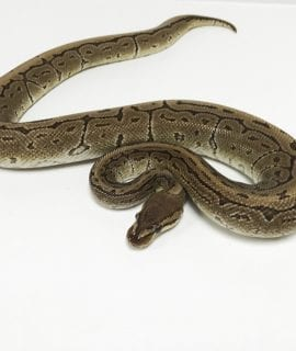 Male Pinstripe Royal Python CB Adult