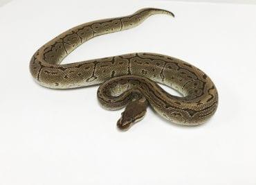 Male Pinstripe Royal Python CB Adult