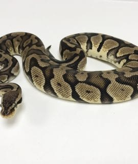 Female Pastel Royal Python CB Sub Adult