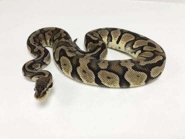 Female Pastel Royal Python CB Sub Adult