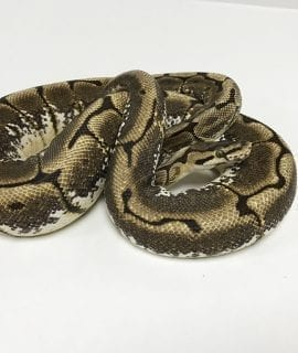 Female Spider Royal Python CB Sub Adult