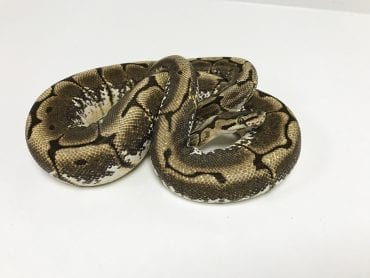 Female Spider Royal Python CB Sub Adult