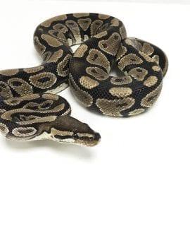 Male Classic Royal Python CB Adult