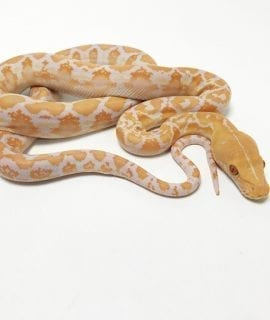 Female White Albino Mainland Reticulated Python CB19