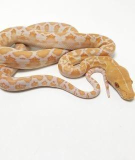 Female White Albino Mainland Reticulated Python CB19