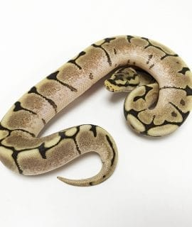 Male Fire Spider Royal Python CB18