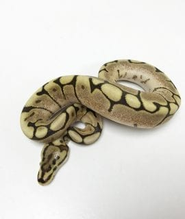 Female Fire Spider Royal Python CB18