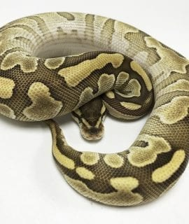 Female Butter Leopard Royal Python (Pet only) CB18
