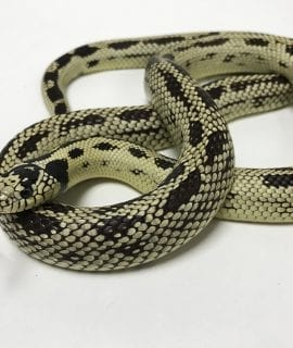 Male Kind Snake CB Adult