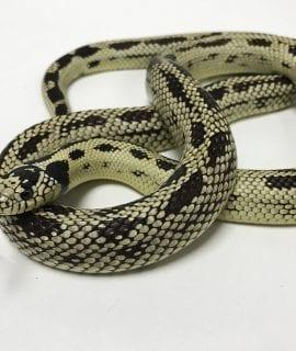 Male Kind Snake CB Adult