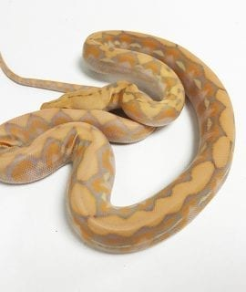 BRAND NEW!!! Female Coral Dwarf Reticulated Python CB19