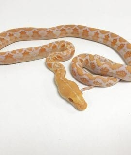 Male White Albino Mainland Reticulated Python CB19