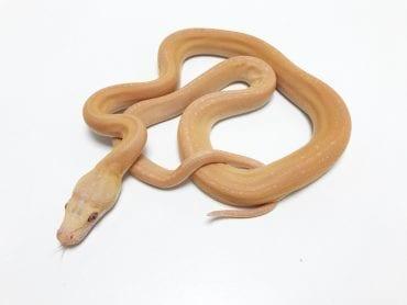 Female Lavender Platinum Goldenchild Tiger Mainland Reticulated Python CB19