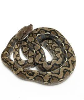Female Classic het Foulsham Caramel Mainland Reticulated Python CB19