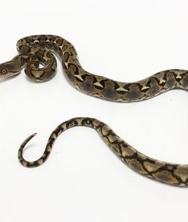 Male Classic het Foulsham Caramel Mainland Reticulated Python CB19