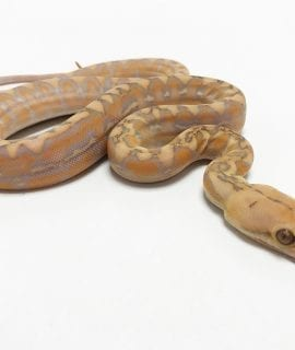 Male Coral Marble Dwarf Reticulated Python CB19