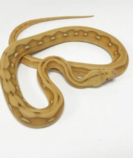 Male Mochino Suntiger Mainland Reticulated Python CB19
