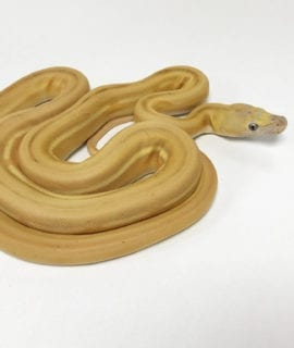 Female Mochino Super Sunfire Super Tiger poss Citron Mainland Reticulated Python CB19