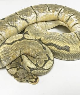 Female Honeybee Royal Python CB Adult