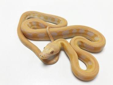 Female Lavender Tiger Mainland Reticulated Python CB19