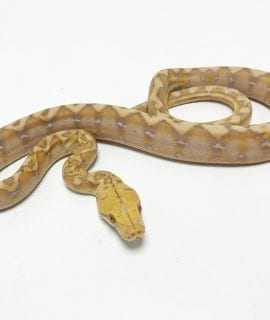 Male Coral Dwarf Reticulated Python CB19