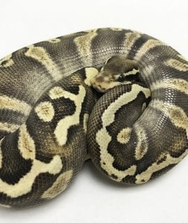 Female Pastave GHI 66% het Ghost Royal Python CB18