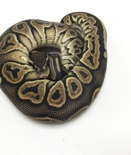 Male Banana Mojave Ghost Royal Python CB18
